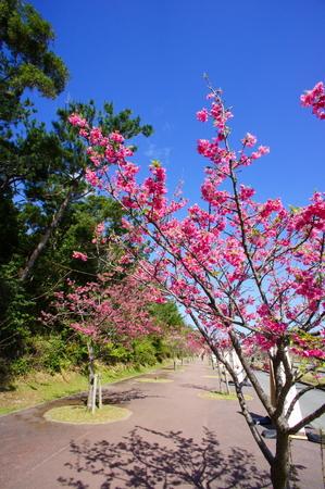 八重岳の寒緋桜(縦):No.0652