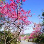 八重岳の寒緋桜(横):No.0653