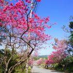 八重岳の寒緋桜(縦):No.0654