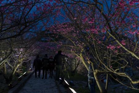 今帰仁グスク桜まつり・夜の桜並木(横):No.3634
