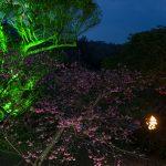 今帰仁グスク桜まつり・桜のライトアップ(横):No.3635