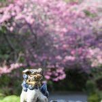 やちむん喫茶シーサー園のシーサーと寒緋桜(縦):No.3673