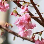 沖縄の寒緋桜(縦):No.3674