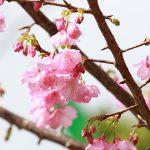 沖縄の寒緋桜(縦):No.3675