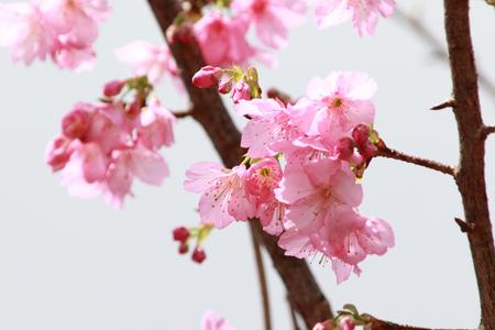 沖縄の寒緋桜(横):No.3676