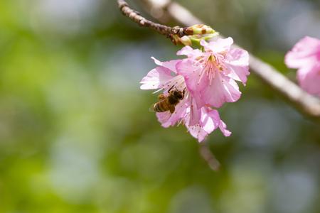 沖縄の寒緋桜とハチ(横):No.3679