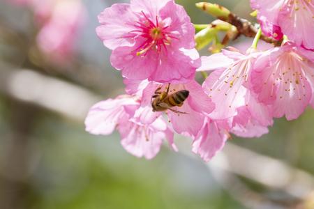 沖縄の寒緋桜とハチ(横):No.3680