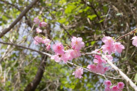 沖縄の寒緋桜とハチ(横):No.3681