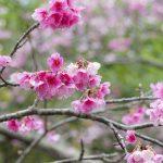 沖縄の寒緋桜(横):No.3682