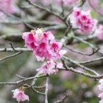 沖縄の寒緋桜(縦):No.3683