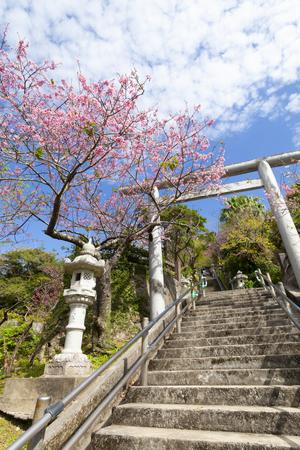 名護城公園の鳥居と寒緋桜(縦):No.3663