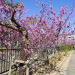 与儀公園ガープ川沿いの寒緋桜(横):No.3665