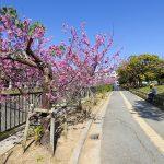 与儀公園ガープ川沿いの寒緋桜(縦):No.3666