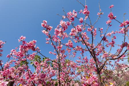 与儀公園ガープ川沿いの寒緋桜と青空(横):No.3667