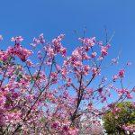 与儀公園ガープ川沿いの寒緋桜と青空(縦):No.3668