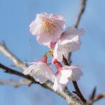 沖縄の寒緋桜(横):No.3697
