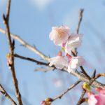 沖縄の寒緋桜(横):No.3698