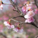 沖縄の寒緋桜(横):No.3699