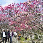 今帰仁城跡の寒緋桜と花見客(縦):No.3703