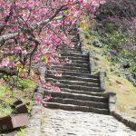 今帰仁城跡の寒緋桜(縦):No.3706
