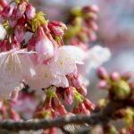 沖縄の寒緋桜(横):No.3712
