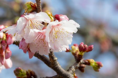 沖縄の寒緋桜(横):No.3713