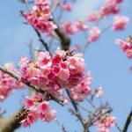 沖縄の寒緋桜(縦):No.3714