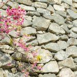 今帰仁城跡の石垣と寒緋桜(横):No.3715